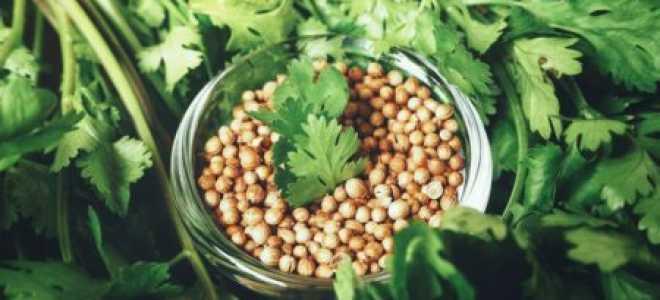 Кориандр — приправа со специфическим ароматом