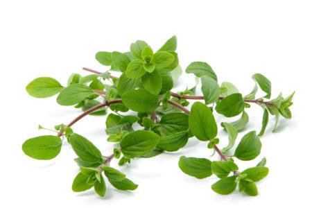 Майоран: полезные свойства и противопоказания, выращивание из семян, применение в народной медицине